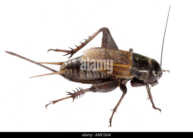 Field Cricket - Gryllus sp - Insect of order Orthoptera - Stock Image