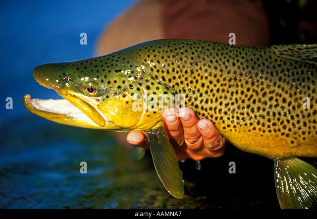 Fisherman releasing Trophy Brown  in Trout Silver Creek  Preserve, near Sun Valley, Idaho - Stock Image