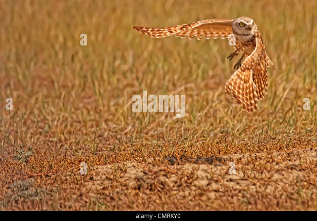 Digitally enhanced image with painterly effect of Burrowing Owl taking flight, Grasslands National Park, Saskatchewan - Stock-Bilder