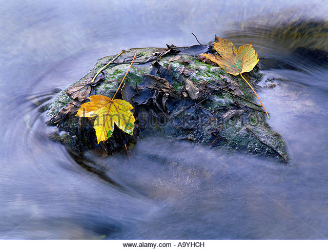 Yellow coloured maple leaves stranded on a rock located in a creek - Stock Image
