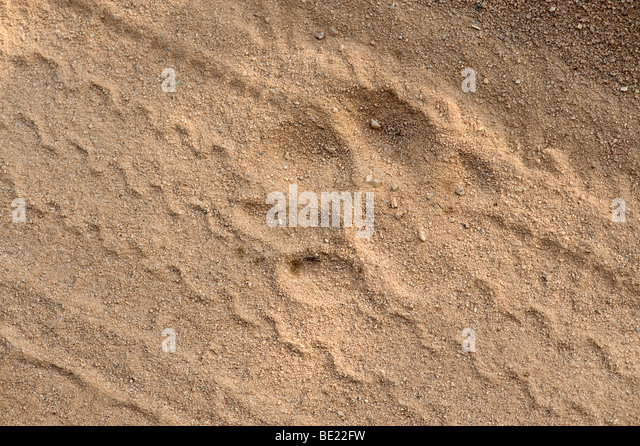 Tiger paw print in sand with car jeep tyre tracks Bandhavgarh National Park - Stock Image