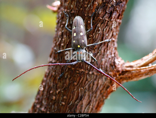 Asian Longhorned Beetle is native to China and other areas of the Far East. They lay their eggs in tree bark and - Stock-Bilder
