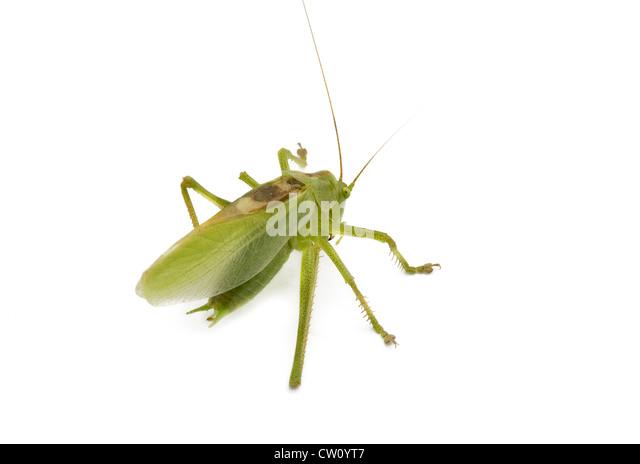 grasshopper from side on white background - Stock-Bilder