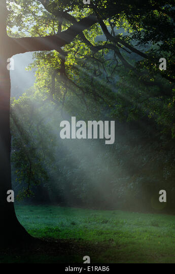 Sunbeams shining through the branches of an old Oak - Stock Image
