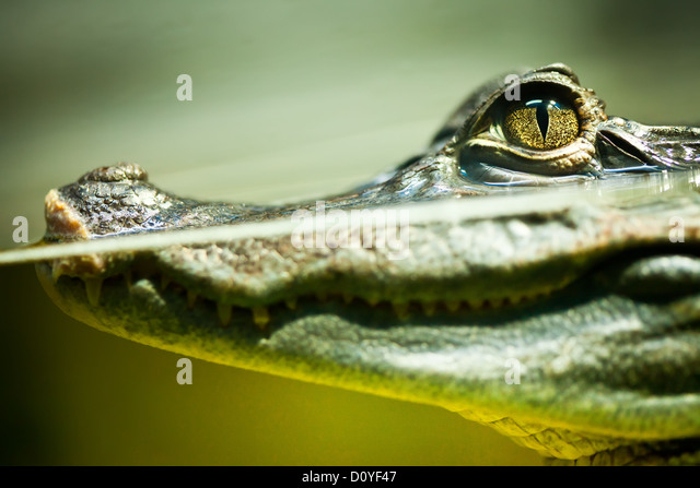 Caiman crocodilus - Stock-Bilder