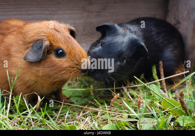two young guinea pigs in the cage - Stock Image