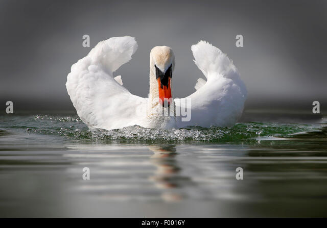 mute swan (Cygnus olor), swims with threatening gesture, Germany - Stock-Bilder