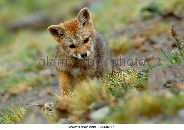 Argentine grey fox kit, Torres del Paine National Park, Chile - Stock Image