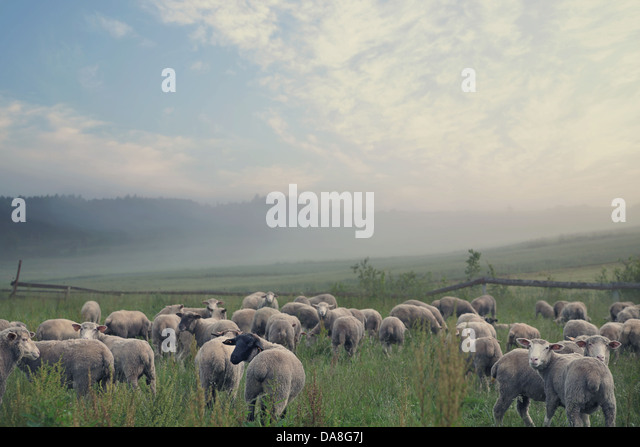 Rular landscape and group of eating sheeps - Stock Image