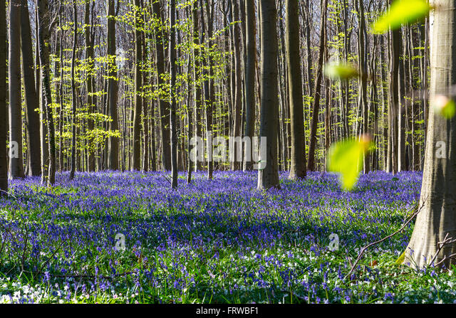 Bluebells, Tranendal (Teardrop Valley) in Hallerbos, Belgium - Stock Image