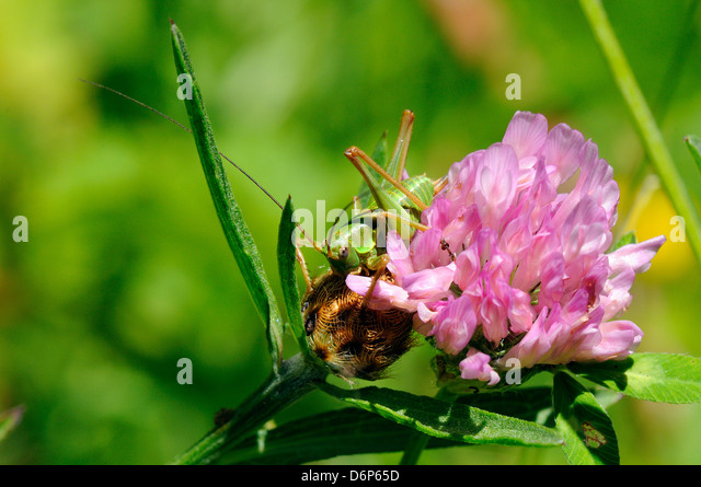 Immature female great green bush cricket (Tettigonia viridissima) and clover flower, Hecho valley, Spanish Pyrenees, - Stock Image
