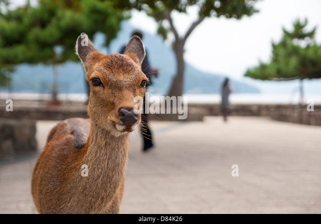 A spotted deer staring at camera at Miyajima Island in Japan on a rainy day. - Stock Image