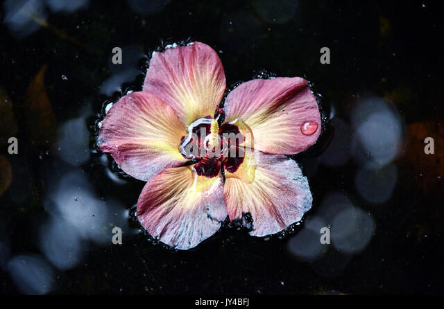 Hibiscus Flower In Water - Stock Image