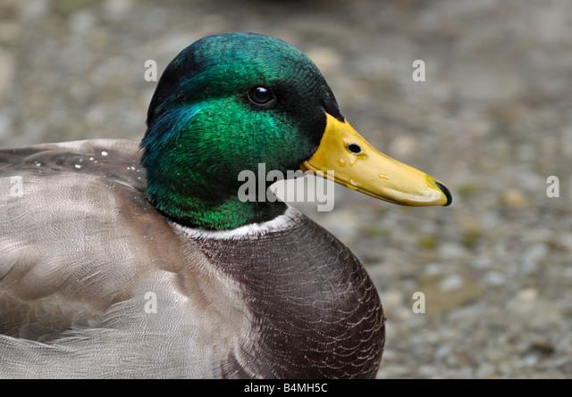Mallard Drake - Stock Image
