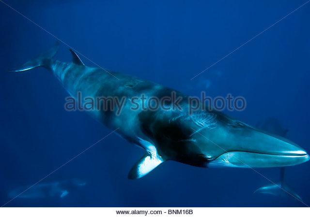 Minke whale - Stock Image