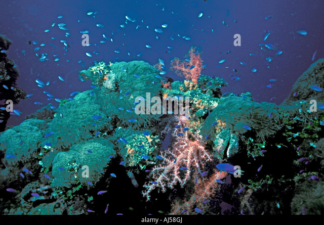 coral reef red soft corals fish coral tentacles truk lagoon sport scuba diving underwater scenic landscape chuuk - Stock Image
