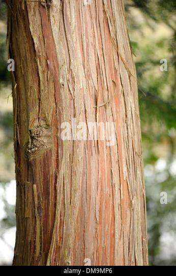 Hinoki Cypress, Chamaecyparis obtusa, Bark - Stock Image