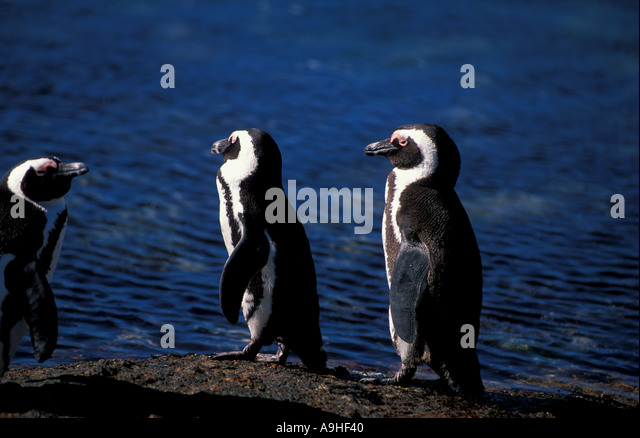South Africa Cape Peninsula Penguins at the Boudlers - Stock Image