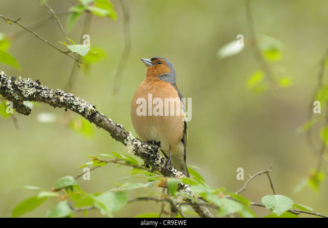 Male Chaffinch, Fringilla coelebs, on a branch, Scotland. - Stock Image