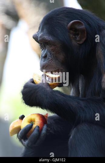 monkey chimpanzee anthropoid - Stock-Bilder