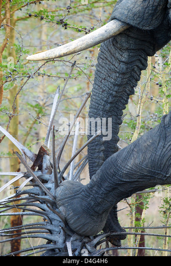 African elephant pushes down palm tree Saadani National Park Tanzania - Stock Image