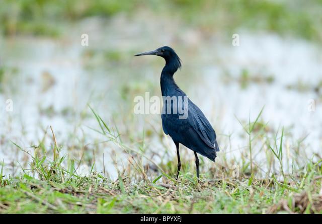 Black egret (Egretta ardesiaca), Liwonde National Park, Malawi - Stock-Bilder