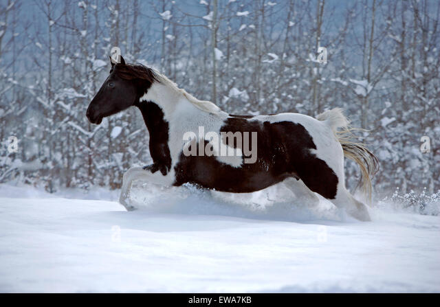 Black and white Paint Foal running in meadow in fresh snow - Stock Image