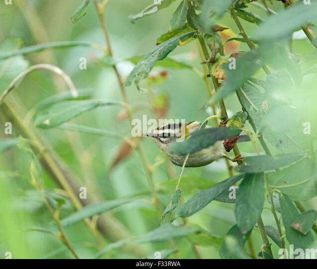 Firecrest Regulus ignicapilla autumn migrant Cley NWT Reserve Norfolk September - Stock Image