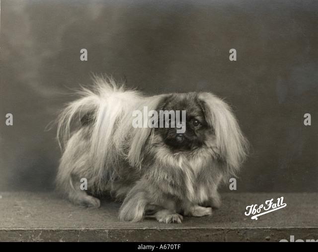 Fall Pekingese 1937 - Stock-Bilder