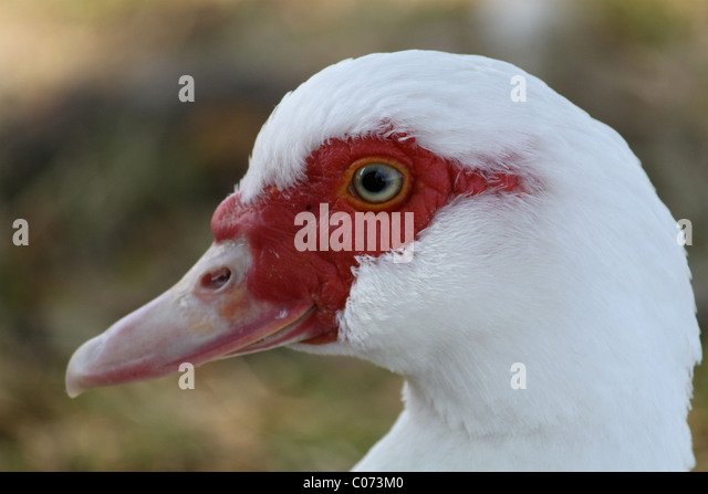 close up of Muscovy duck with feather and eye detail - Stock Image