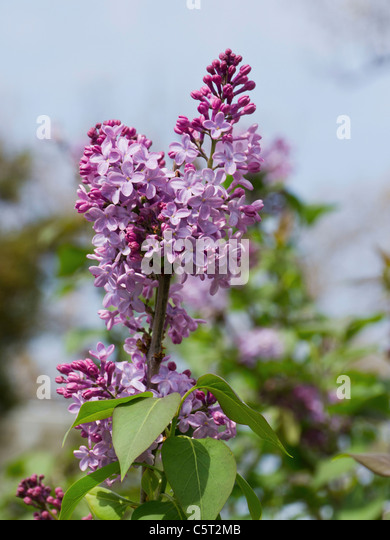 USA, Washington DC, Close up of lilac flowers - Stock Image