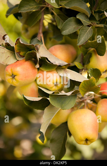 Close up of organic apples growing on tree branch - Stock Image