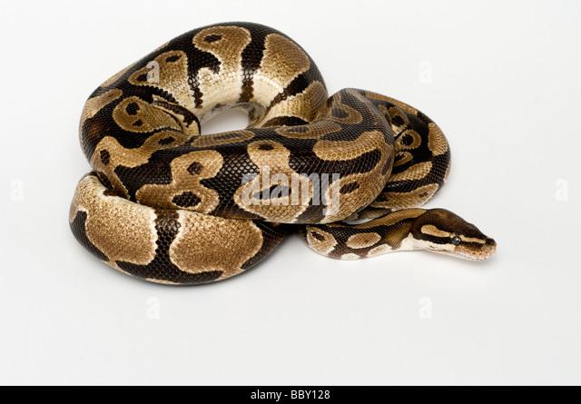 ROYAL PYTHON Python regius - Stock Image