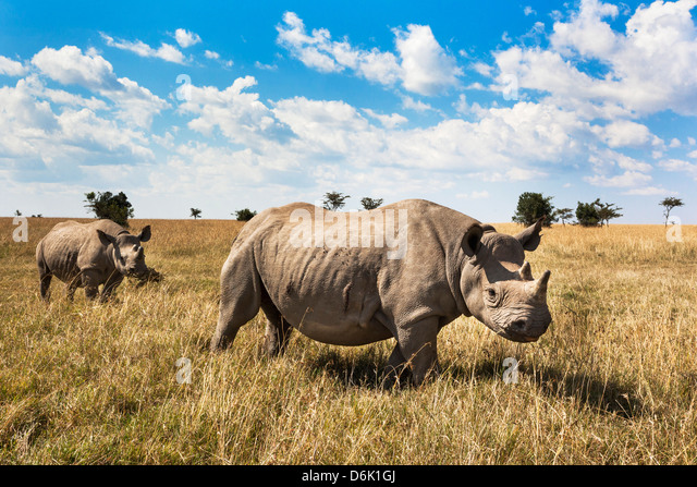 Rhinoceros, Ol Pejeta Conservancy, Laikipia, Kenya, East Africa, Africa - Stock Image