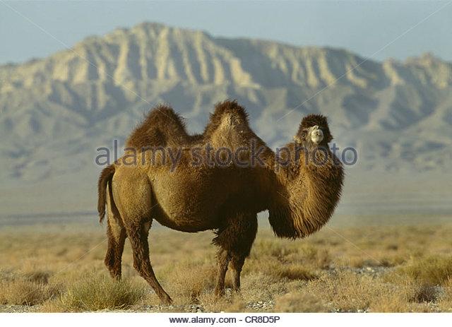 Bactrian Camel, Taklimakan Desert, China - Stock Image