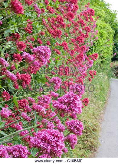 Valeriana officianalis (Cat's Valerian) growing out of wall, Devon. - Stock Image