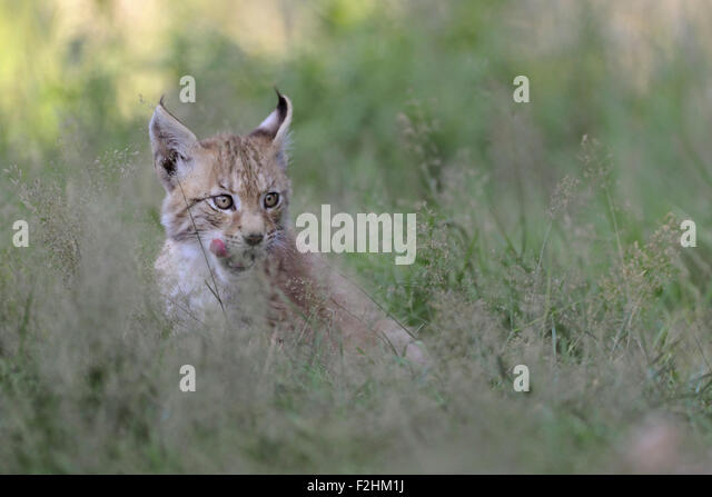 Young cub of Eurasian Lynx / Eurasischer Luchs ( Lynx lynx ) licks deceitful its tongue, looks funny. - Stock Image