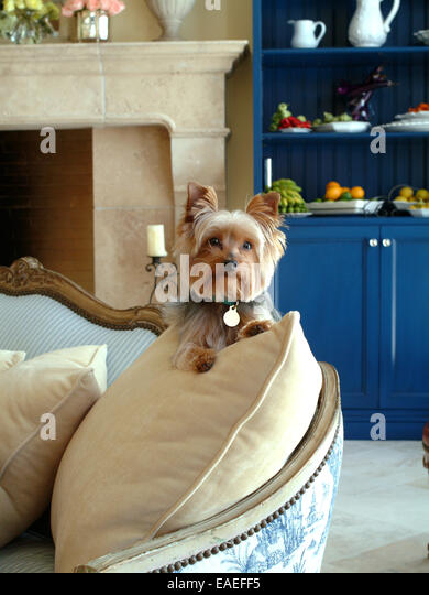 Small Dog on Couch - Stock Image