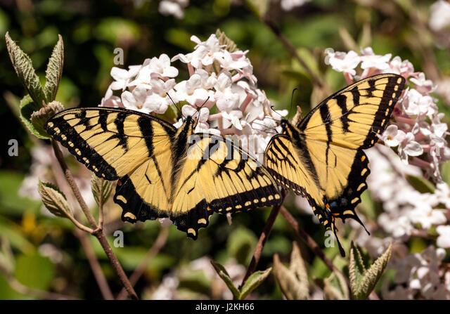 Eastern Tiger Swallowtail (Papilio glaucus) - Brevard, North Carolina, USA - Stock Image