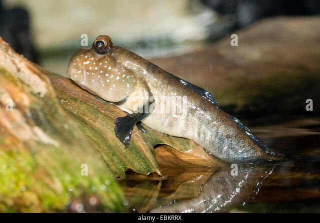 African Butterfly Mudskipper (Periophthalmus spec.), at shore - Stock Image