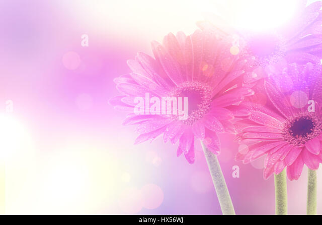 Background of Gerbera daisies with vintage retro effect - Stock Image