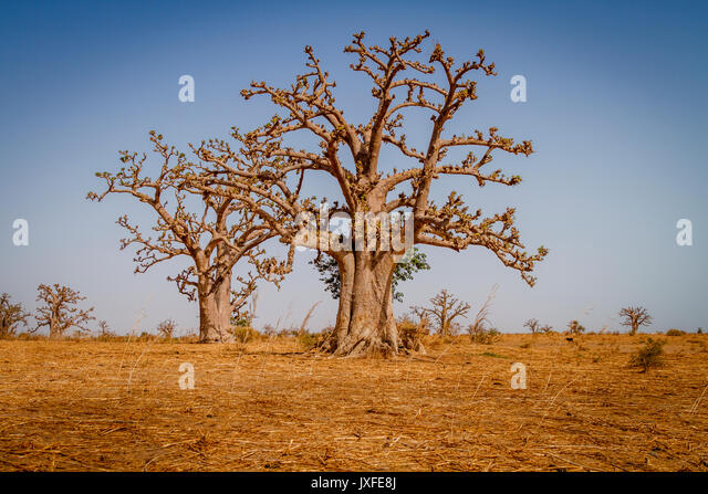 Massive baobab trees in the dry arid savanah of south west Senegal. - Stock Image
