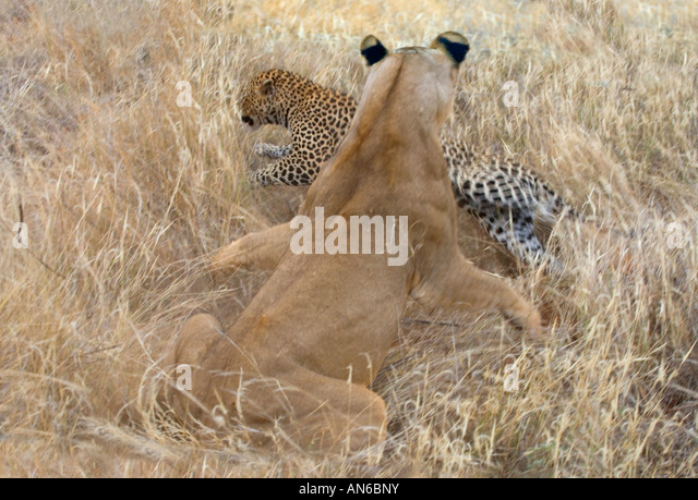 Female lion attacking leopard, Samburu Nature Reserve, Kenya - Stock Image