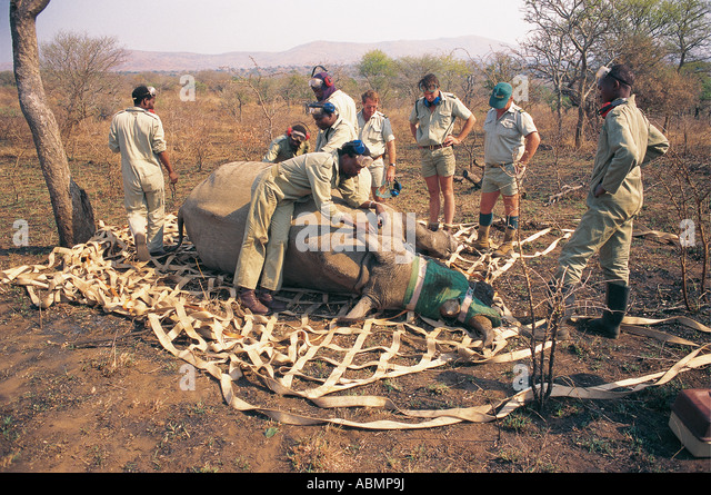 Preparing for aerial translocation of White Rhino by Natal Parks Board and South African AirForce KwaZulu Natal - Stock Image
