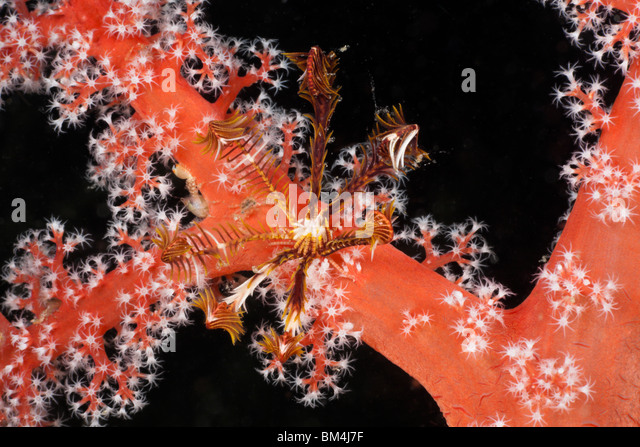Small Crinoid on red Coral, Comanthina sp., Siphonogorgia godeffroyi, Raja Ampat, West Papua, Indonesia - Stock Image