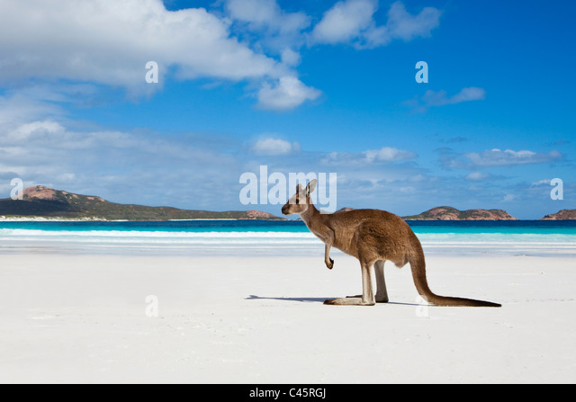 Kangaroo on beach at Lucky Bay.  Cape Le Grand National Park, Esperance, Western Australia, Australia - Stock Image