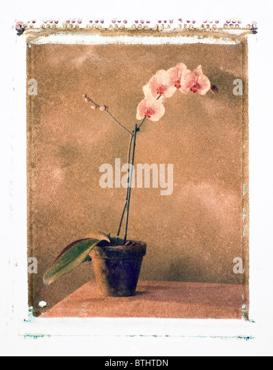 Polaroid transfer of pink Orchid in a pot. - Stock Image
