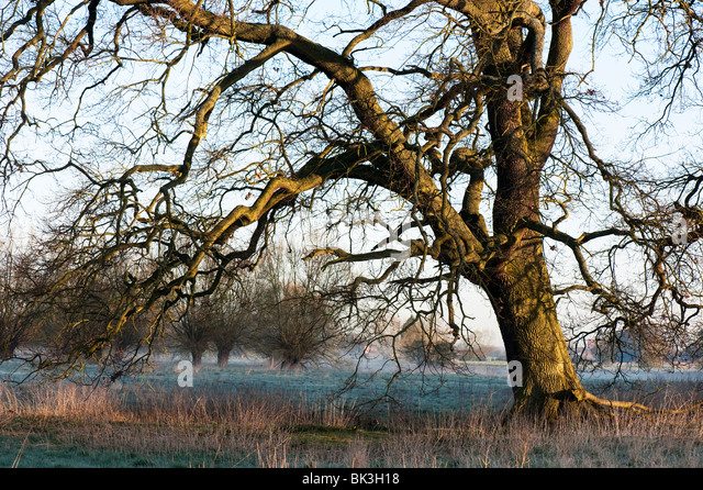 Winter english oak tree in the early morning. Oxfordshire, England - Stock Image