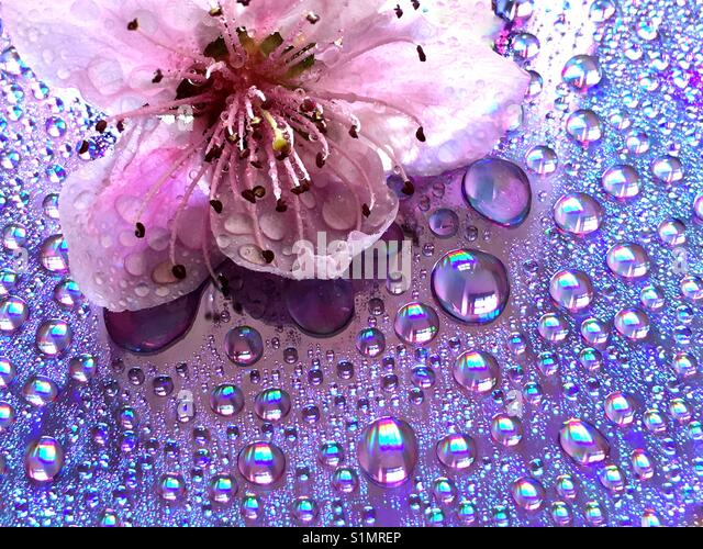 Pink flower with water drops - Stock Image
