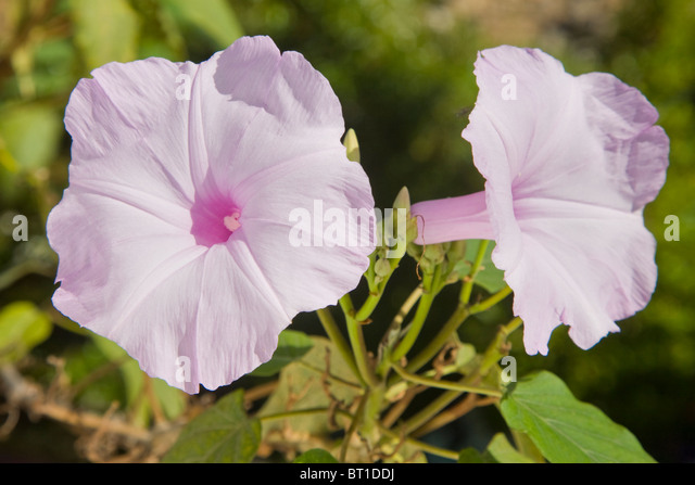 Ipomoea crassicaulis or moonflower, also known as morning glory. - Stock Image